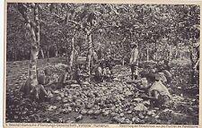 K 364-N. 1-Camerun, Africa occidentale sua piantagione società Viktoria, cacao