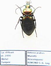 Carabus heterocarabus marietti ativsengueni (female A1) from TURKEY