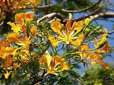 DELONIX REGIA YELLOW FLAMBOYAN ROYAL POINCIANA  RARE BONSAI TREE SEED 10 SEEDS