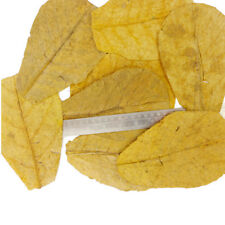 "200 - Catappa Almond Leaves 18-20cm/ 7"" Cleaning Treatment Fish A++ WHOLESALE"