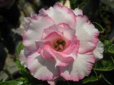 Adenium Obesum Desert Rose - Cx Ploypakay - Perennial Bonsai Seeds (5)