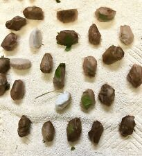 3x Live Healthy Luna moth cocoons, all shapes and sizes!