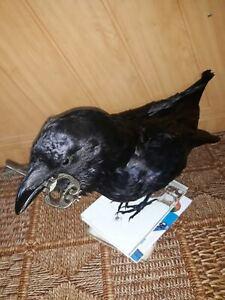 Stuffed raven book stand key in beak Taxidermy
