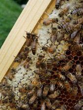 Queen Bee , Honey Bee