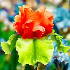 Unique Bearded Iris 2 Bulb Rhizome Resistant Mix Flower Rare Stunning Plant Corm