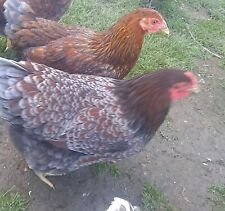 13 PUREBRED BlUE RED LACED  WYANDOTTE FERTILE  EGGS(FREE SHIPPING). Lower Price