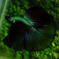 Live Betta Fish Super Green Black Samurai HM Male from Indonesia Breeder