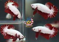 Live Betta Fish High Quality Halfmoon Plakat HMPK Male Red Dragon