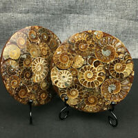 Natural Ammonite Disc Fossil Conch Specimen Healing +Stand 2pcs