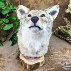 x32 Taxidermy Oddities Curiosities Prairie Wolf coyote Head mount Display decor