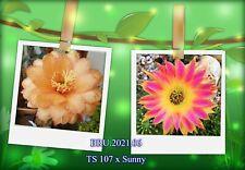 Kakteen, Kaktus, Echinopsis,Hildewintera Trichocereus-Hybride, Samen 2021,NEU