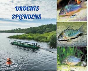 """6/12/18 Brochis Splendens """"Emerald Catfish"""" with free shipping continental US"""