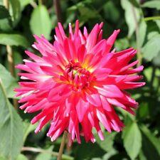 Cactus Dahlia - variety mix - 120 seeds