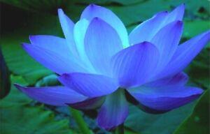 5 SAPPHIRE BLUE LOTUS SEEDS - Nelumbo Nucifera