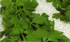 Parsley Seeds- Gigante di Napoli- Herb  500+ 2018 Seeds       $1.69 Combined S/H