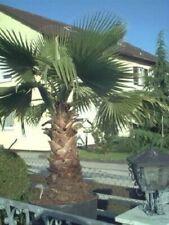 2 winterharte Wasch. Palmen schnellwüchsige exotische Pflanzen im für den Garten