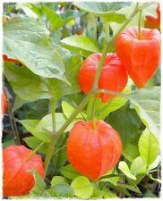 Pianta di ALKEKENGI 'Physalis Peruviana' Frutto Arancione - in vaso 14 cm