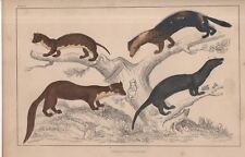 WEASEL FAMILY  -  ORIGINAL ANTIQUE HAND-COLOLOURED GOLDSMITH/CUVIER PRINT (1866)