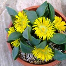 Mimicry Plant Split Rocks Seed Succulent Groundcover Drought Tolerant Yellow Flr
