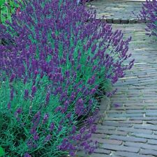 English Lavender / Lavandula Angustifolia - 100 Seeds - Herb - Fragrant