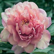 """1x Paeonia Rose """" NORGATE PINK """"  Tree Peony ( Peonies /Paeonie ) RARE peonie"""