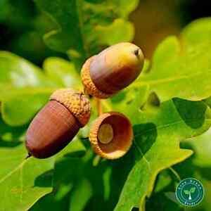 3 seeds of Oak - QUERCUS ROBUR - Acorn + GIFT 5 seeds Sunflower