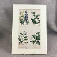 1858 Botanico Stampa Poisonous Deadly Nightshade Originale Antico Mano Colorato