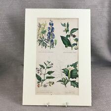 Antique Botanical Print Original Hand Coloured Poison Plants Deadly Nightshade