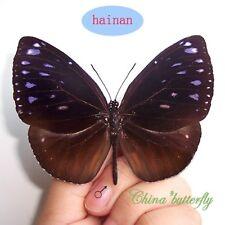 unmounted butterfly Danaidae Euploea klugii minorata China A1-