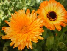 BULK! MIXED ORANGE CALENDULA SEEDS - OPEN POLLINATED - HERBAL ORGANIC BENEFICIAL