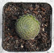Sempervivum ciliata