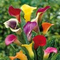 Calla  Flower/Bonsai/Garden Seeds (200 seeds)