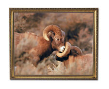 Bighorn Sheep On Mountain Outdoor Wildlife Wall Picture Gold Framed Art Print