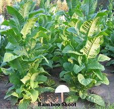 Tabaksamen Bamboo shoot Samen Zigaretten chinesischer Tabak