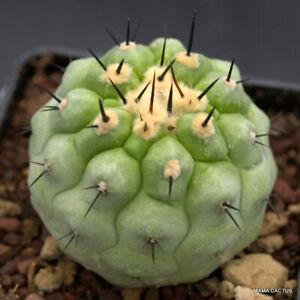 B754 COPIAPOA TENEBROSA BLACK SPINES RARE pot 7 cm H 4,5 cm W 5 cm MaMa Cactus