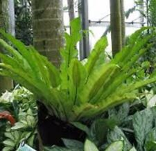 BIRDS NEST FERN Asplenium australasicum tropical shade plant in 170mm pot