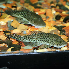 Rubbernose Pleco Chaetostoma milesi 5 cm Tropical Fish