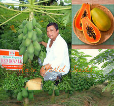 "Carica Papaya ""Red Royale"" DWARF Fruits harvested 7 months from planting! SEEDS."