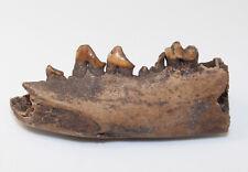 Raubtierkiefer, Fam. Mustelidae, Quartär, Pleistozän, Florida,USA -eb8793