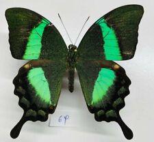 Papilionidae Papilio palinurus mâle a1 mounted phillipinnes