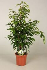 Ficus benj. 'Anastasia' plant.  Weeping Fig Tree. Approx 70-80cm tall