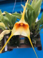 Masdevallia rex Orchid Species BS Import Mounted Beautiful Warm Grower