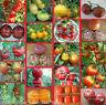 🔥 🍅 Tomate * Tomaten für kurze Sommer * kältetolerant * 10 Samen Tomatensamen