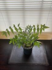 Azadirachta Indica 'Neem' Tree 3-4 Year+ 1 Full Rooted Gallon Pot! Bonsai-Lawn!