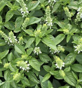 Lime Basil Seeds   Basilicum Pot Herb Garden Ornamental Thai Lemon Flower 2022