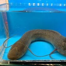 """Spotted lungfish 10-12"""" in length live tropical fish"""