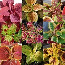 🌼 100 Samen Buntnessel Mischung Rainbow Coleus