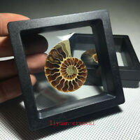 Natural Ammonite Fossil Shell Conch Specimen Crystal Healing Display Box 1pc