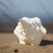 Spindle Seashell Large 18-20cm   Fusinus Undatus   Beach Shells   Natural Decor