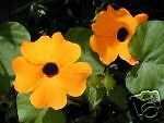 Thunbergia alata Mixed Color Flowers Exotic Vine Seeds!